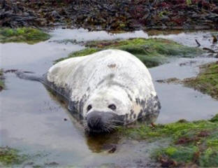 Unusual sighting of grey seal